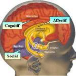 Cerveau - Amygdale