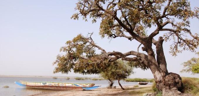 arbre-pirogue